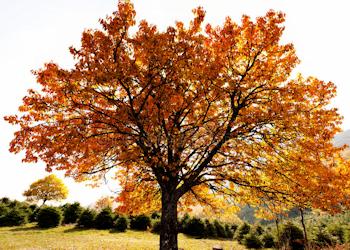 Laub Bäume, Typ 1