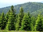 Nadel Bäume